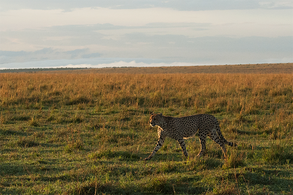 animas-in-maasai-mara-cheetah