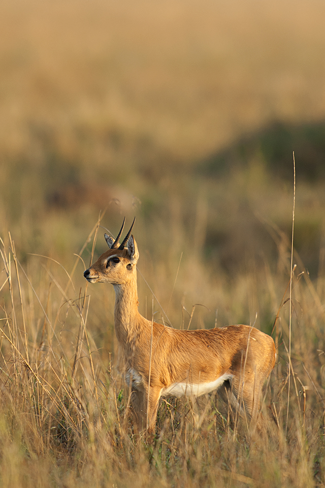 animas-in-maasai-mara-oribi