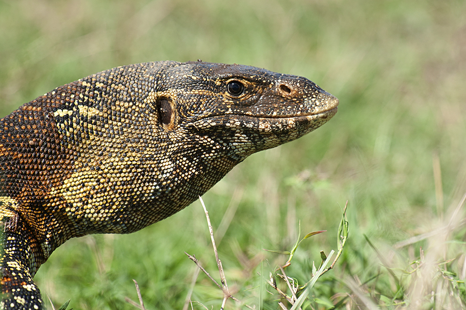 animas-in-maasai-mara-savannah-monitor-lizard