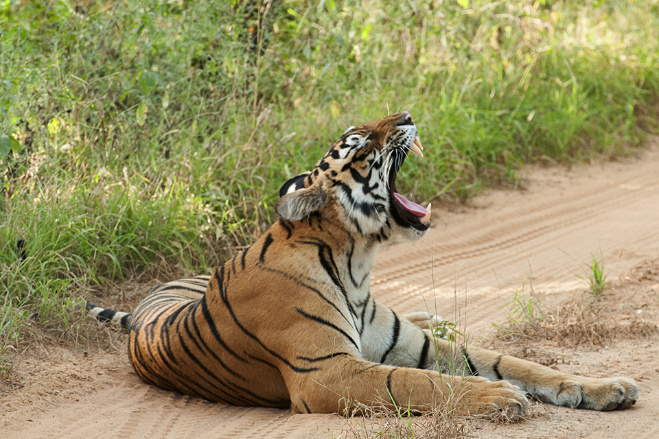 bengal-tiger-12