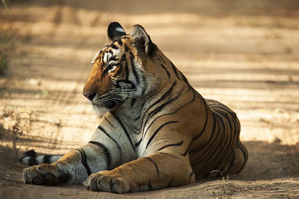 bengal-tiger-4