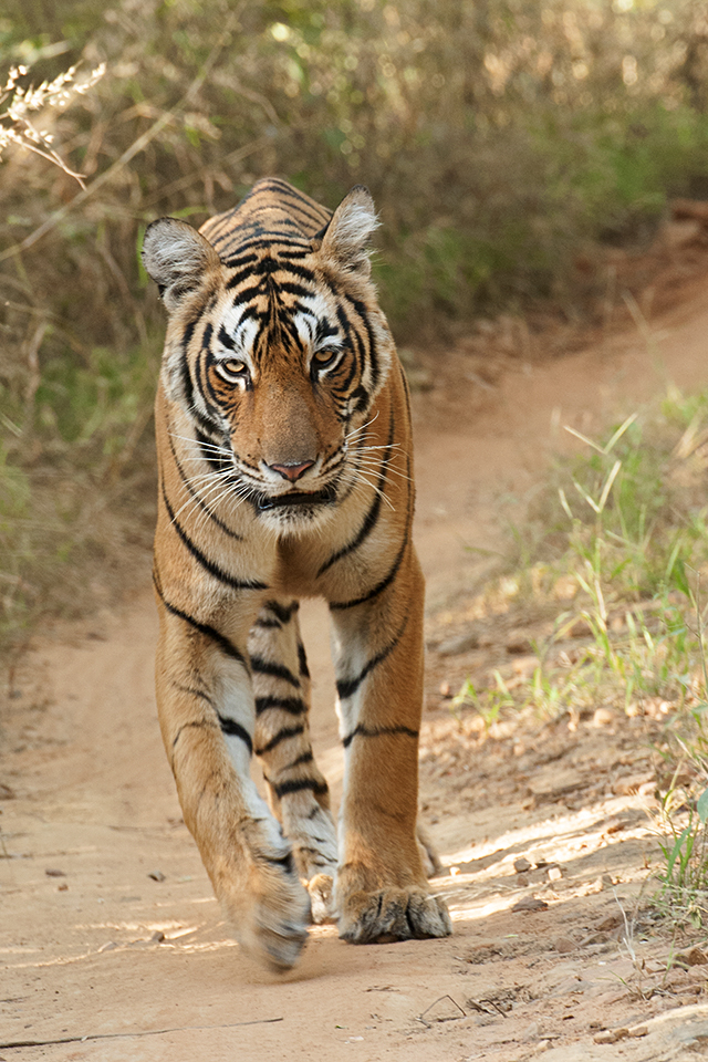Catwalk by Arrowhead in Ranthambore National Park