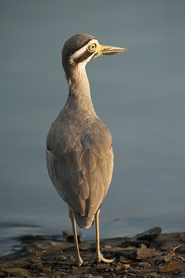 eurasian-thick-knee