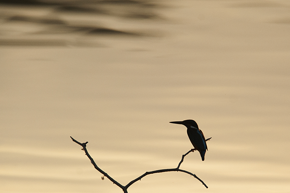 little-blue-kingfisher-silhouette