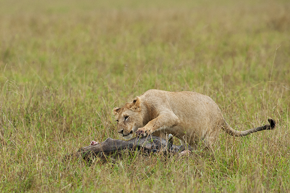 maasai-mara-lion-vs-hyena