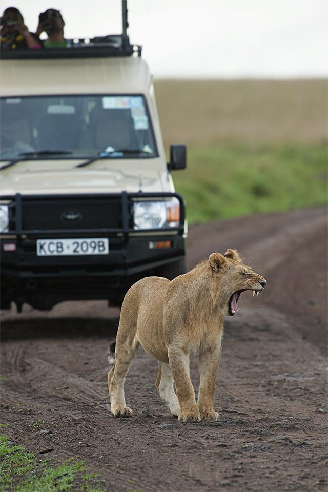 African Lion – Hyena standoff in Maasai Mara