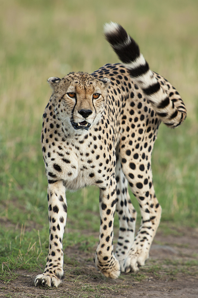 Cheetah in Maasai Mara