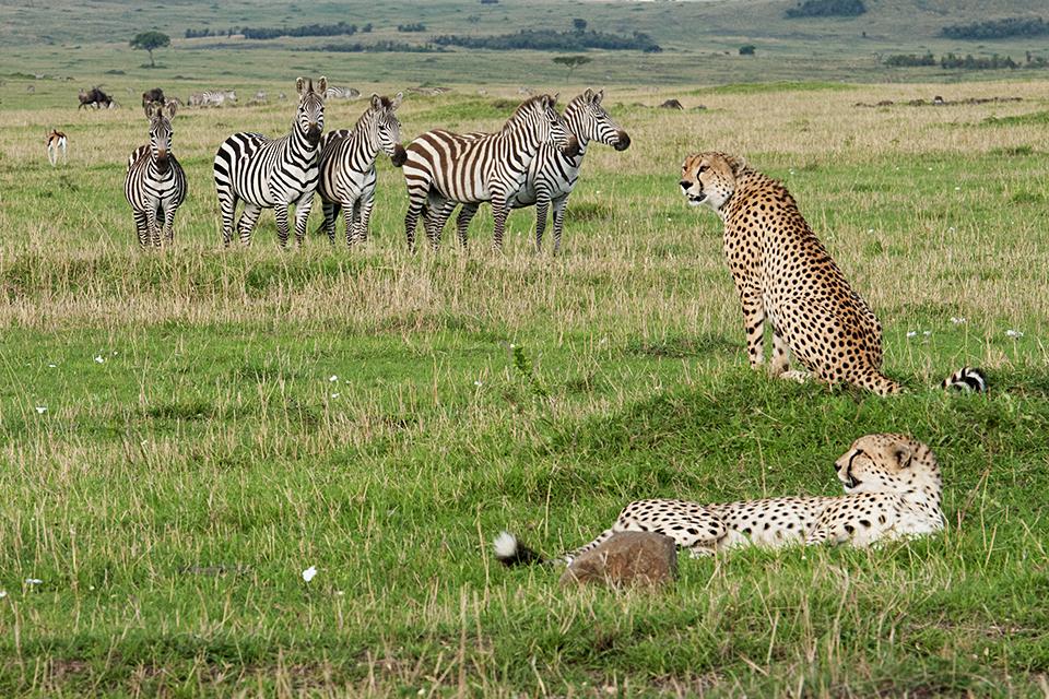 Amazing finale to the Cheetah brothers sighting in Maasai Mara