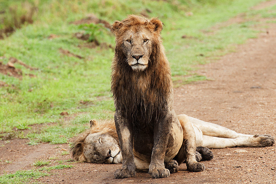 african-lion-in-maasai-mara