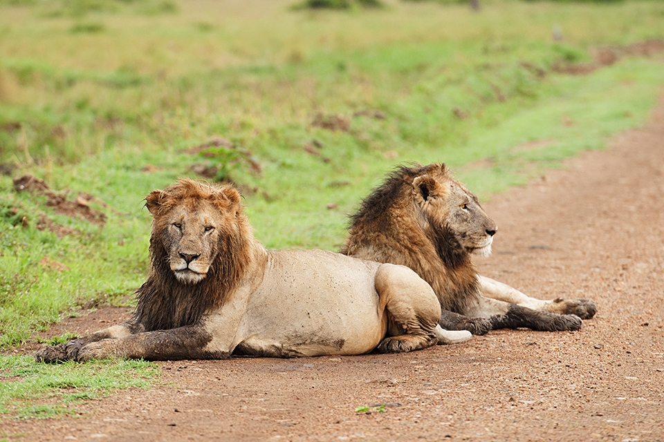 african-lion-in-maasai-mara