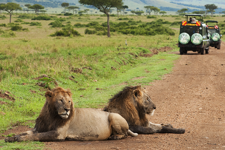 African Lions block the road in Maasai Mara