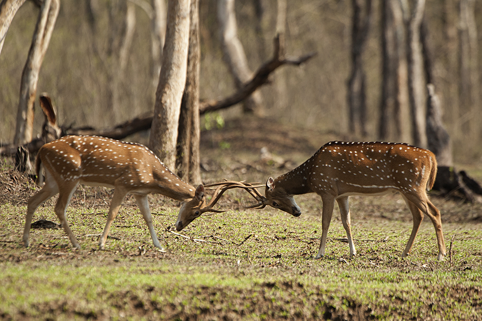 Rutting season in Kabini