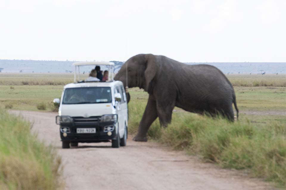 Close encounter with an African Tusker in Amboseli National Park