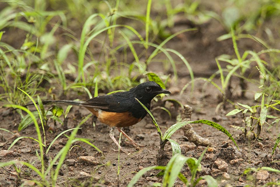 White-Rumped Shama in Kabini Tiger Reserve