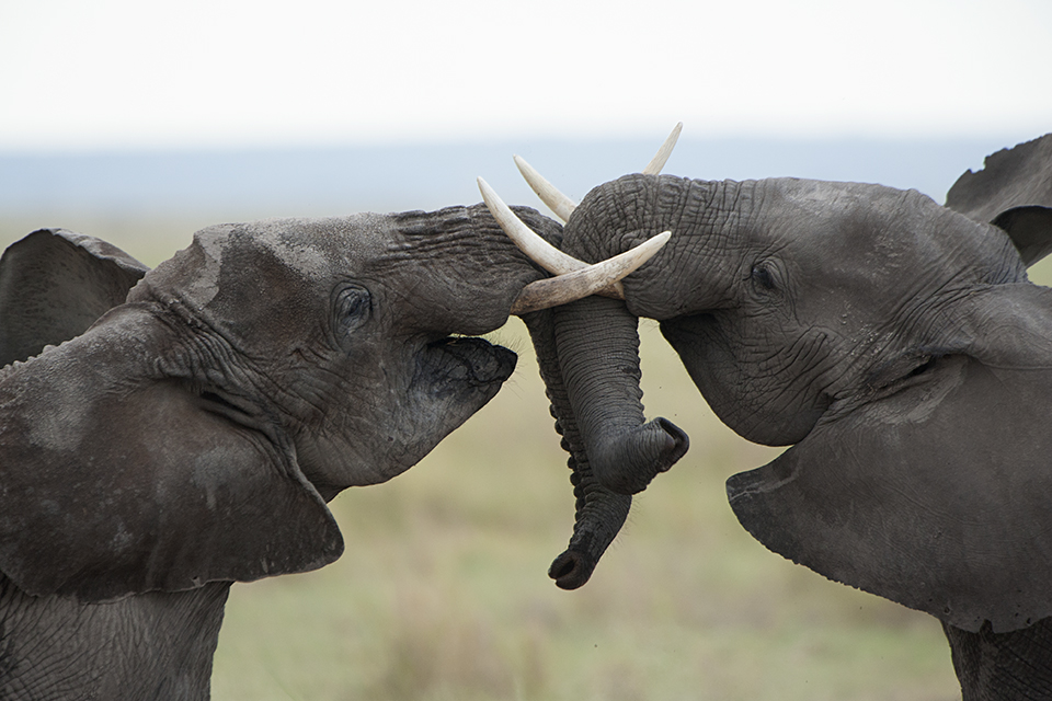 Clash of the Young Titans in Amboseli National Park