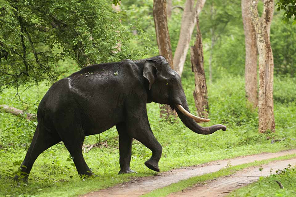 Elephant crossing in Kabini