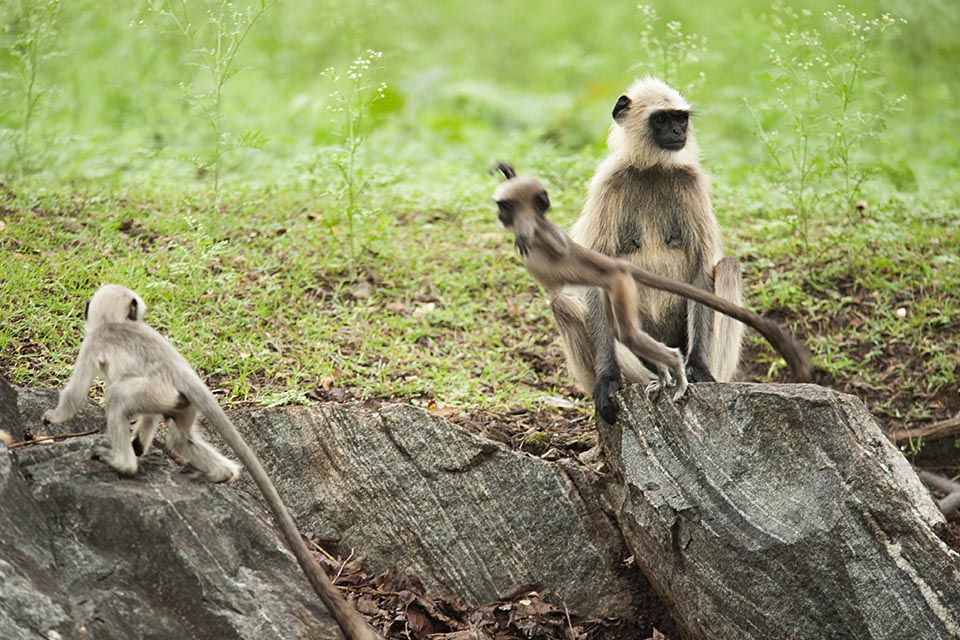 Monkey business in Kabini