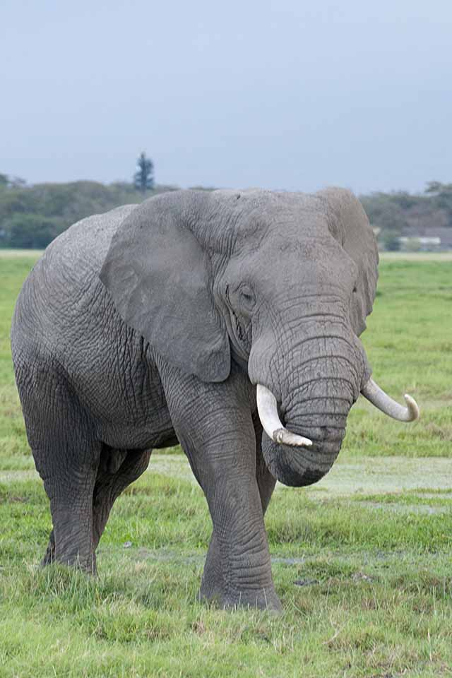 Massive Tusker in Amboseli National Park