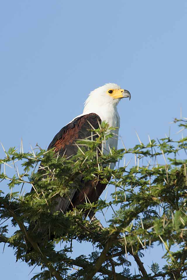 African Fish Eagle of Amboseli National Park