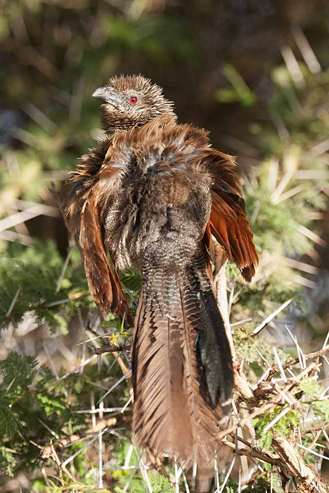 Amboseli White browed Coucal