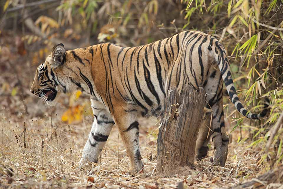 Tiger sighted in Tadoba's buffer zone