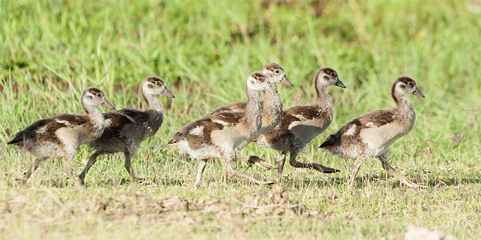 Egyptian Geese in Amoseli National Park