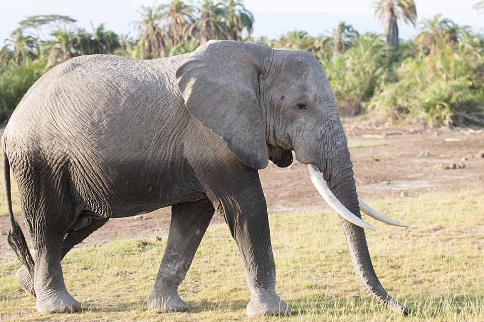 Closest African Elephant  sighting in Amboseli National Park
