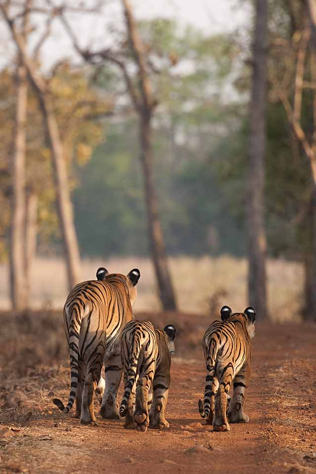 Cats' walk in Tadoba national park