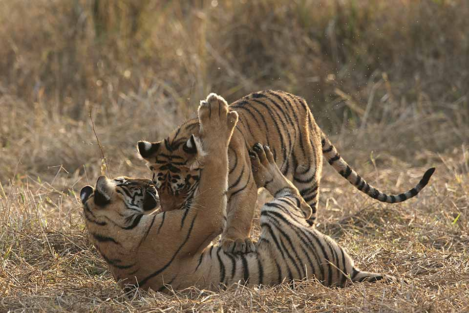 Sibling Play in Tadoba