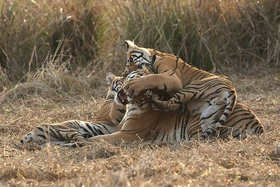 Mother and cubs at play in Tadoba