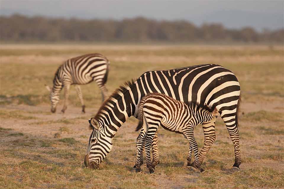 A suckling Zebra calf, Spur Fowl, Bustard, Lion & more –  at Amboseli