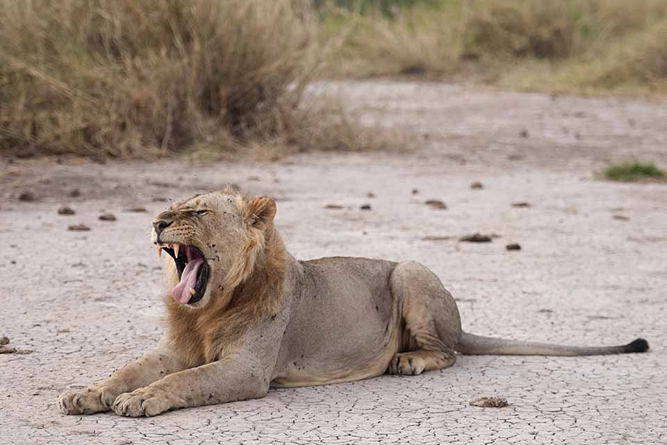 The Lion brothers in Amboseli National Park