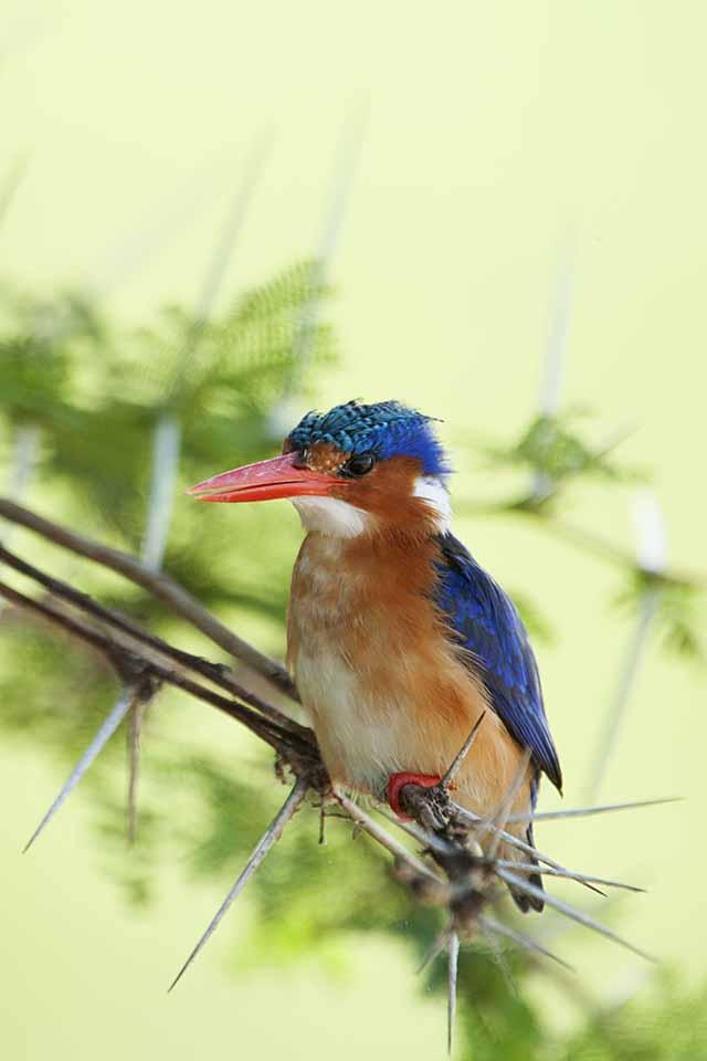 Kingfishers of Amboseli National Park