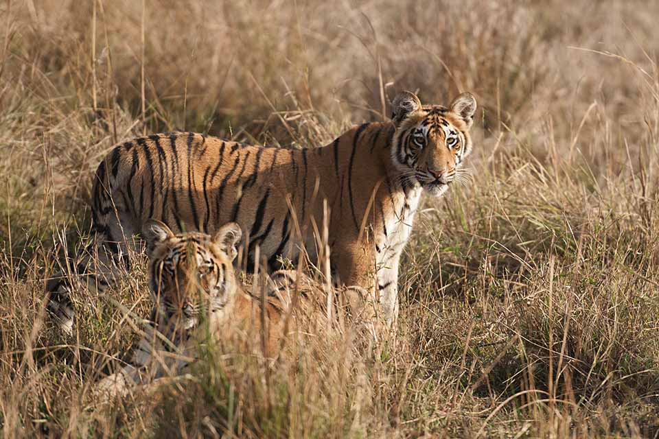 Tiger Cubs learning to hunt in Tadoba National Park