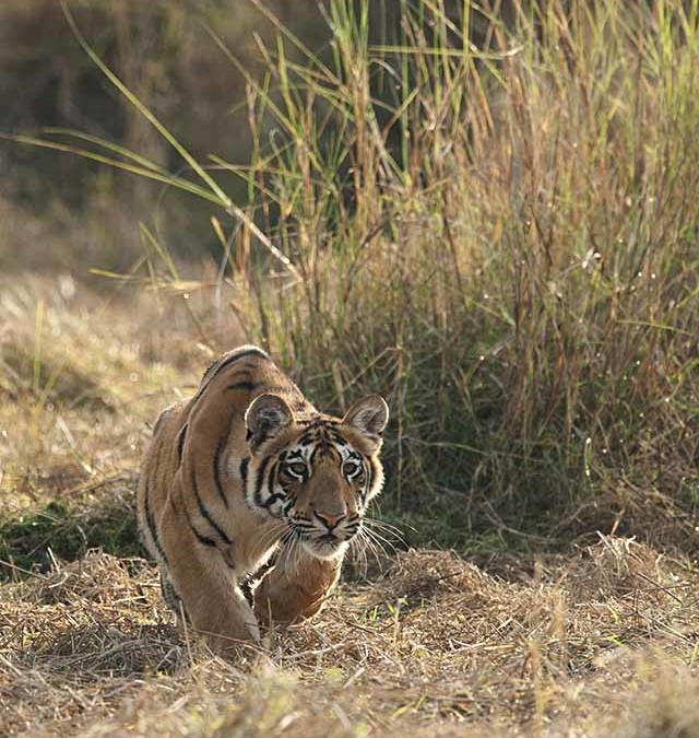 Tiger cubs stalking a Wild Boar in Tadoba
