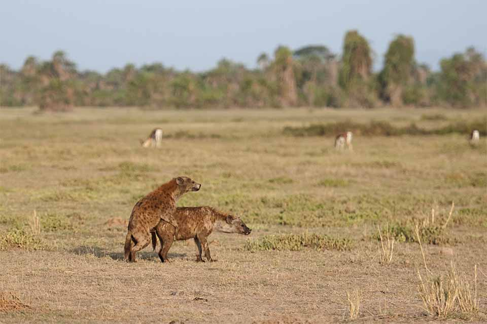 Image result for hyenas in amboseli