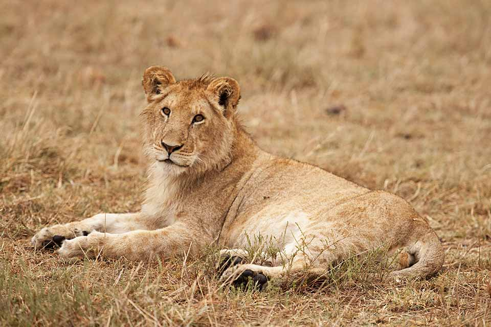 African Lion pride in Maasai Mara