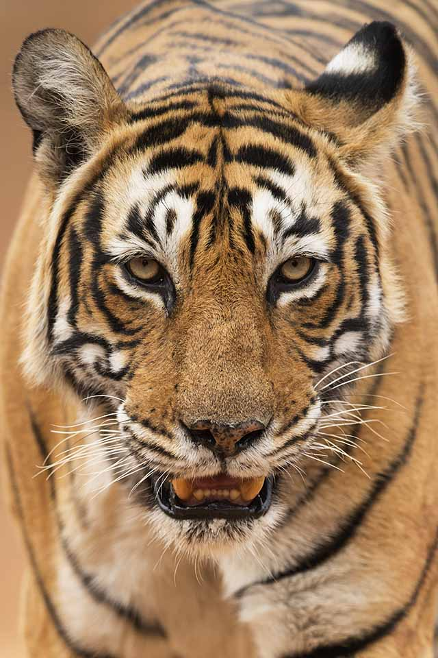 Captivating Cat Walk in Ranthambore
