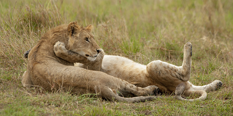 Lazy Lions in Maasai Mara