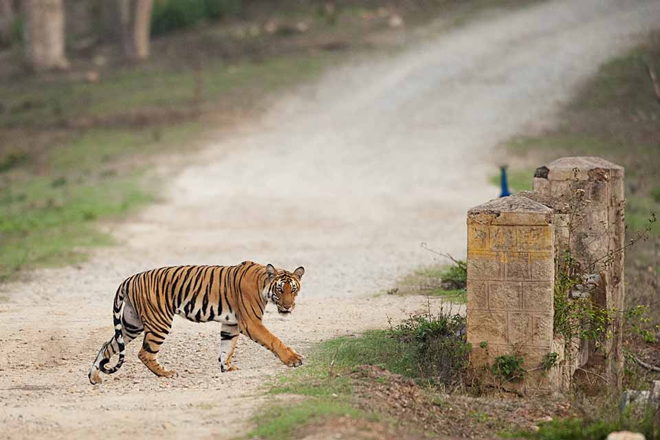 Tigress sneaks across the road in Kabini