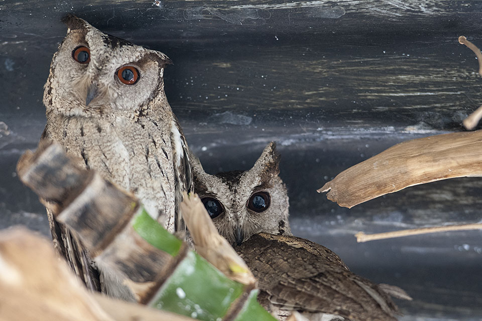 Collared Scops Owls in Pench