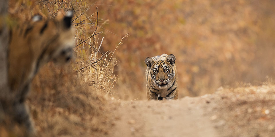 Tigress with cubs in Ranthambore
