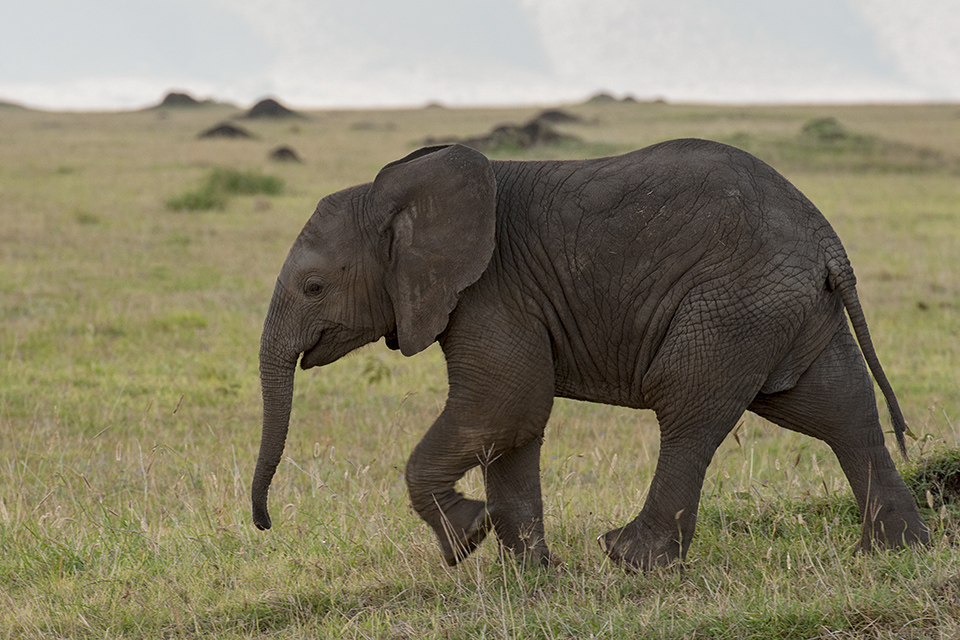African Elephant with calf in Maasai Mara