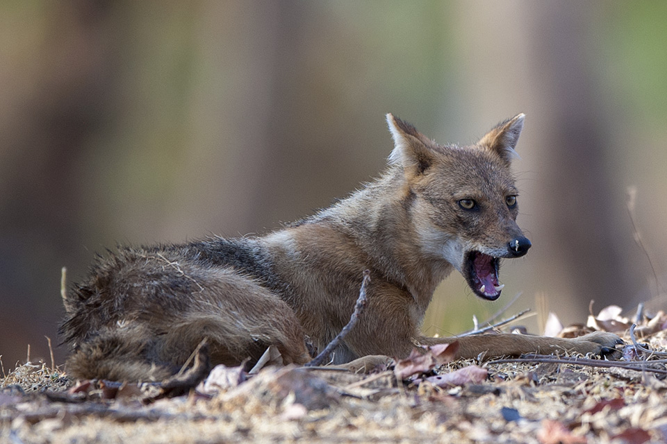 Day of Jackals in Pench