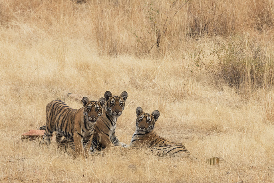 Shy Tiger cubs in Ranthambore
