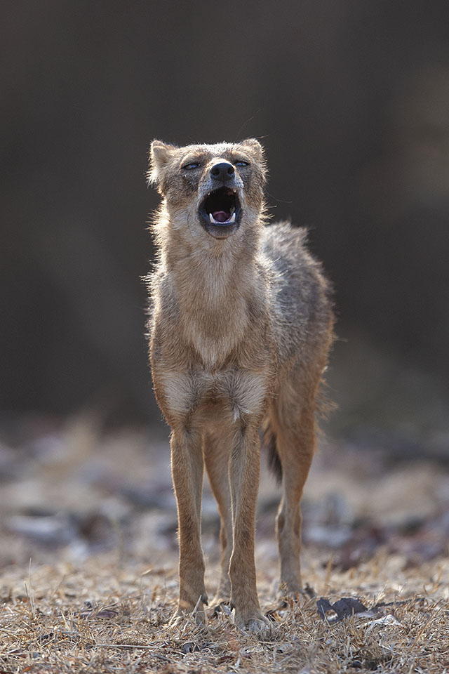 Call of the Jackal in Pench