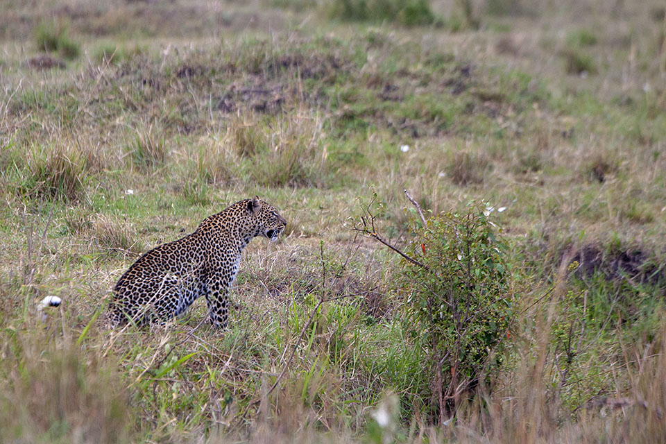 Searching for a Leopard in Maasai Mara
