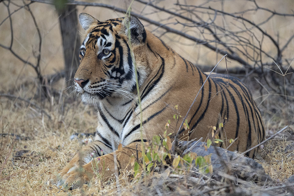 A Tiger prince makes an appearance in Ranthambore