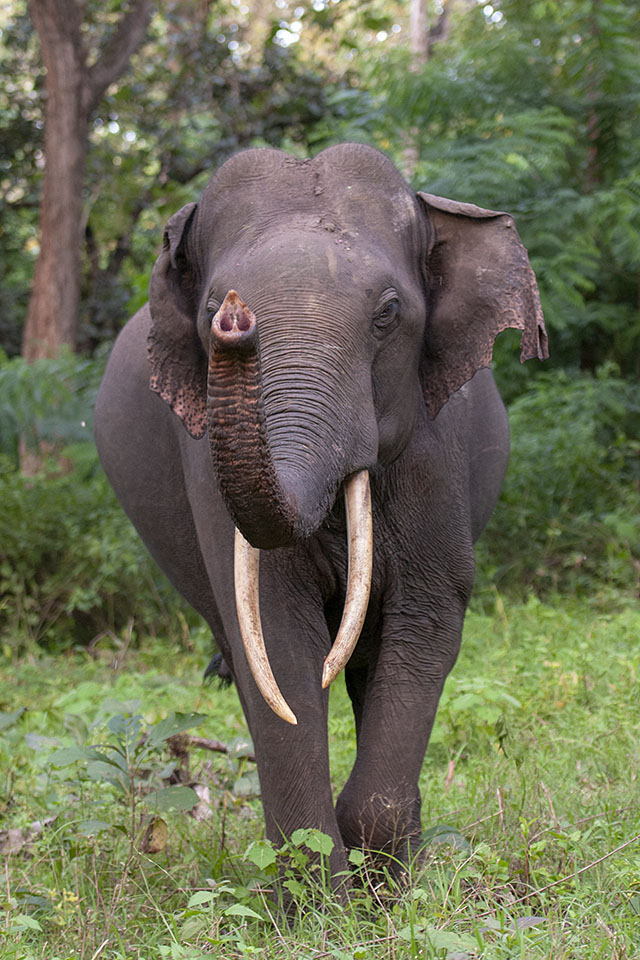 Charging Elephant in Kabini