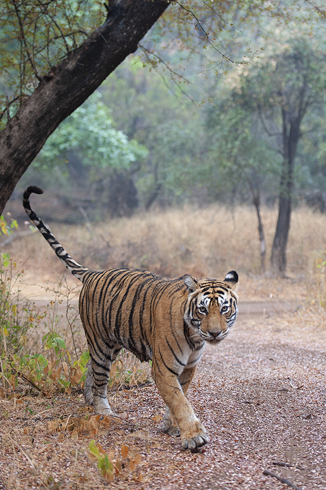 On a stroll with Layla in Ranthambore